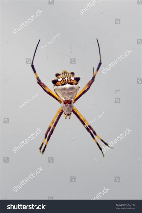 Garden Spider Usa Spider Species Argiope Aurantia Black And Yellow Garden