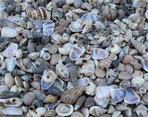 craft in bulk 1 inch india tiny assorted seashells for crafts