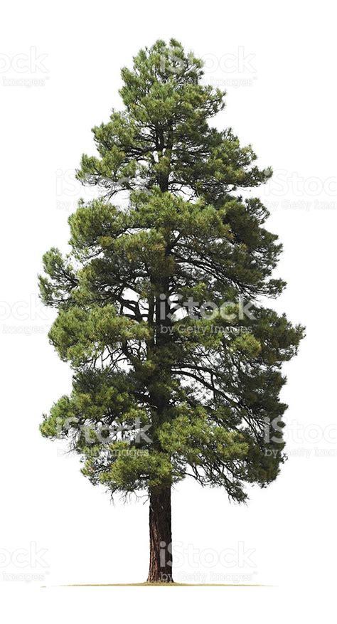 tree on white background ponderosa pine tree isolated on white background stock