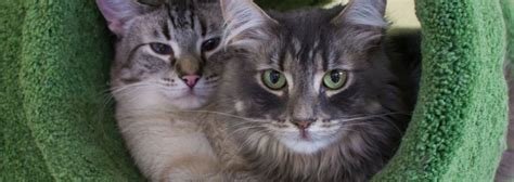 how to do a cat browse adoptable cats purrfect pals