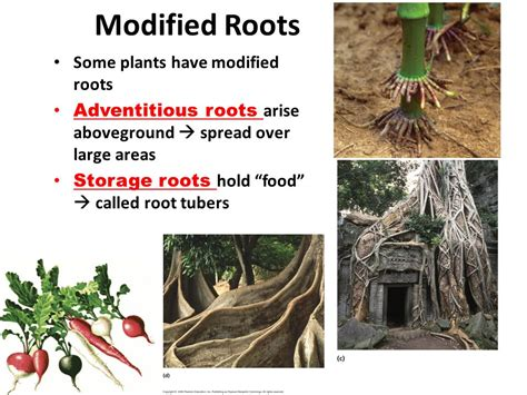 Modification Of Root by Modification Roots Food Storage Modification Roots Food