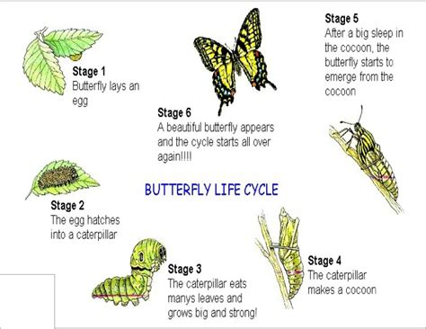 of a butterfly the cycle of a butterfly wikybrew