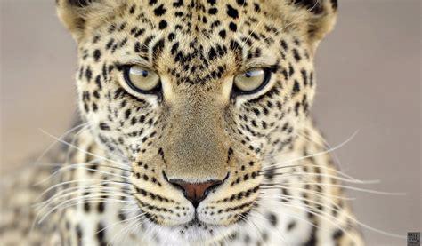 big cat big cats wallpapers 1366x768 1024x600 tm wallpaper