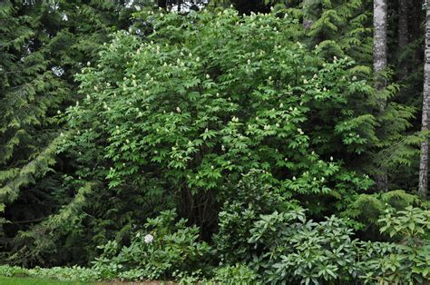 bushes and trees the trees in my back yard elderberry and grand