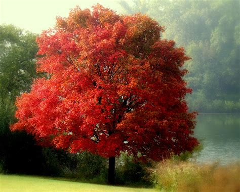 maple tree in fall autumn maple tree photograph by rosanne