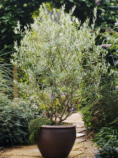 small potted trees best 25 trees in pots ideas on potted trees