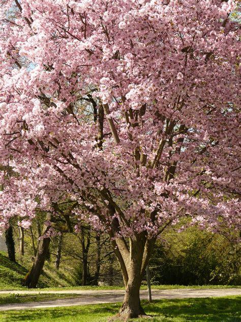 gratis afbeeldingen boom tak bloesem fabriek bloem bloeien de lente produceren