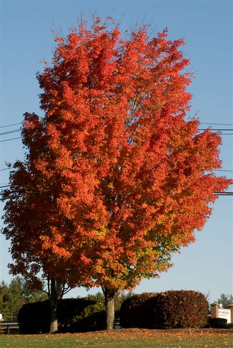 sugar maple trees for sale lowest prices