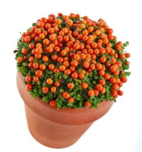 bead plant coral bead plant nertera granadensis