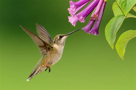 hummingbird plant plants that attract hummingbirds the farmer s almanac
