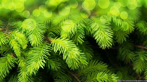 wallpapers of tree fir tree wallpaper