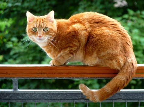 orange cat orange cat