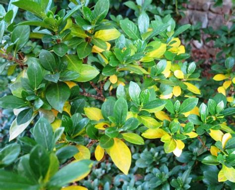 Gardenia Bush Yellow Leaves This Week S Mystery Plants And Rambling In The Garden