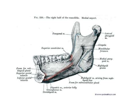 Floor Of Mouth Anatomy by Anatomy Of Maxilla And Mandible