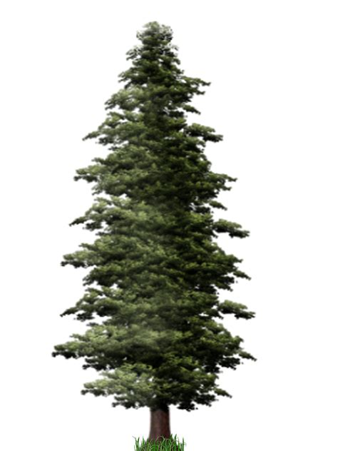 pinery trees pine tree png images