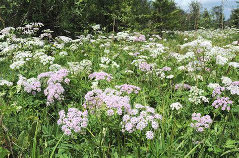 Der Garten Slowakei by Wildstauden In Garten Und Natur Wiesen Im Juni Hohe Tatra