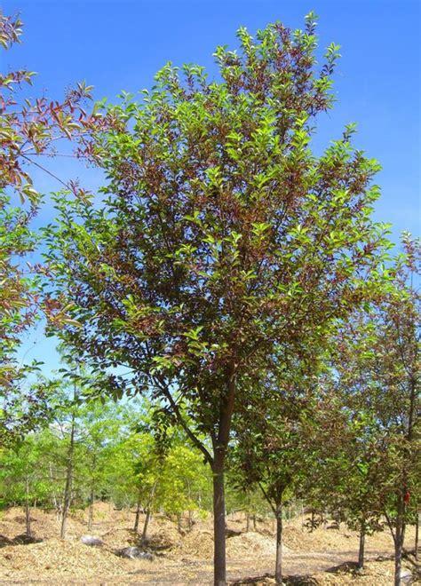 cherry canada creekside tree nursery