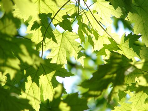 free photo leaves summer green maple free image on pixabay 291024