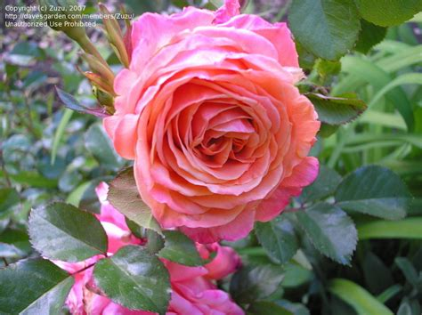 rosary made from roses plantfiles pictures climbing hybrid tea aloha