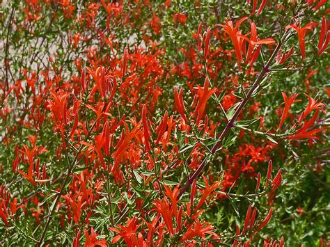 hummingbird plant plantanswers plant answers gt hummingbird bush