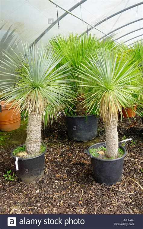 small trees for sale small palm trees yucca rostrata for sale in an