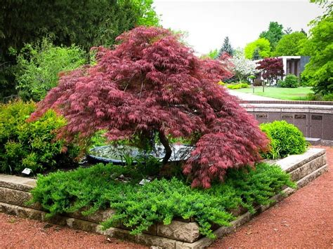 maple tree japanese the complete japanese maple guide the tree center