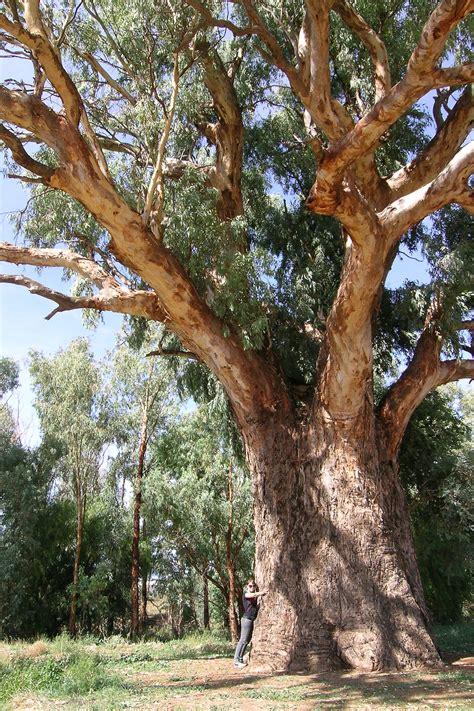 tree of file orroroo tree jpg