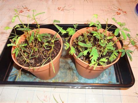 mimosa pudica qui perd ses feuilles