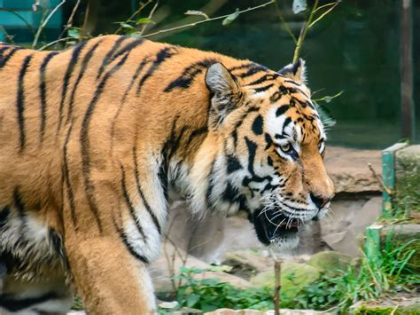 of tiger tiger farming is cultivating a taste for luxury tiger