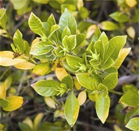 Gardenia Bush Yellow Leaves How To Correct Chlorosis Yellowing Of Leaves