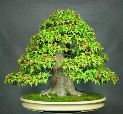 school bonsai clip grow bonsai bark