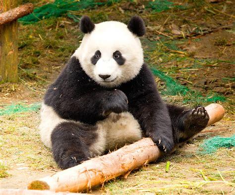 one panda buckets of pandas at sichuan panda sanctuaries