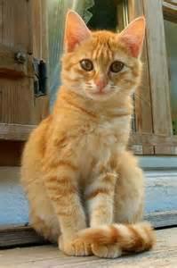 orange cat orange tabby cats