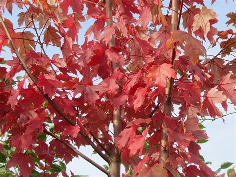 hybrid maple acer x freemanii autumn blaze 171 chew valley trees
