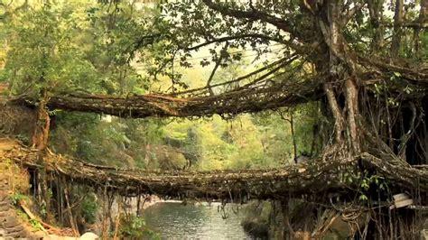 living bridges living bridges made of trees in india
