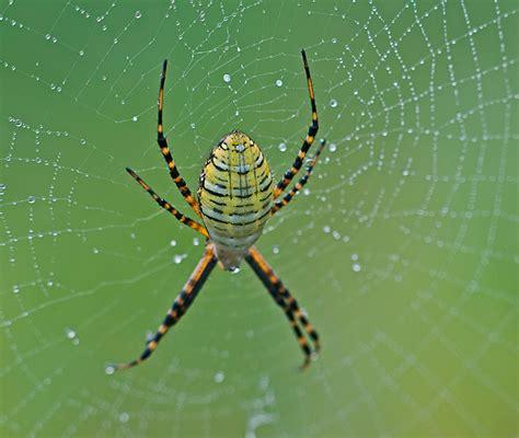 Garden Spider Photos Garden Spiders Philip Schwarz Photography