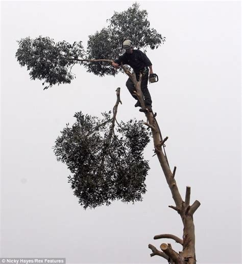fearless worker chops branches of eucalyptus tree 100ft in