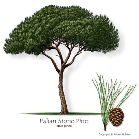 trees in italy italian pine name pinus pinea family