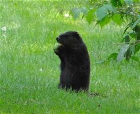 groundhog day for a black 1000 images about melanistic animals opposite of