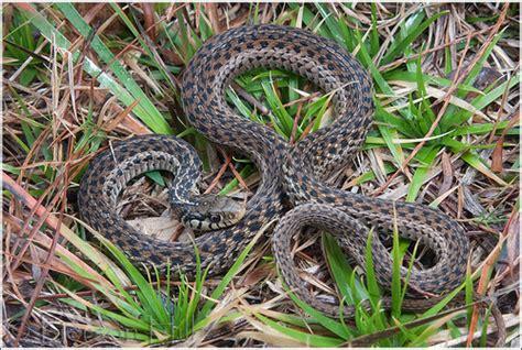 Garden Snake Florida Photo