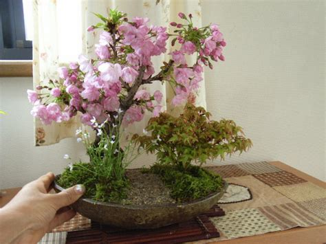 a cherry tree bonsai cobonsai rakuten global market 4 2014 the flowering cherry trees gift bonsai cherry and
