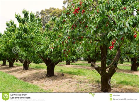 cherry trees in garden stock photo image of nature agriculture 35389986