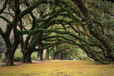 where to place a tree mossy trees like the ones in new orleans at oak alley