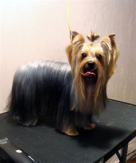 how to cut yorkie hair at home making yorkie hair cuts a simple diy method