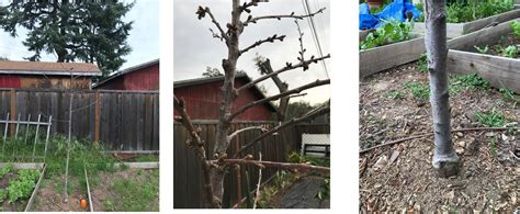 cherry tree not flowering and not leafing out gardening landscaping stack exchange