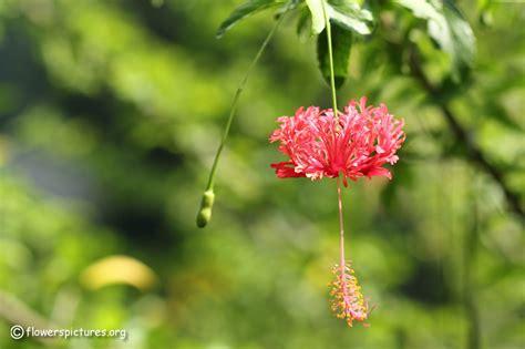 pictures of flowers hibiscus schizopetalus picture 8