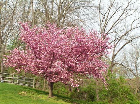 flowering cherry trees grow an ornamental cherry blossom tree garden design