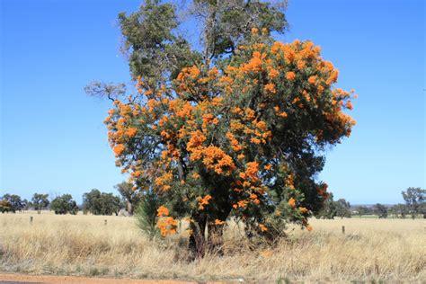 western australian tree nuytsia floribunda western australian tree