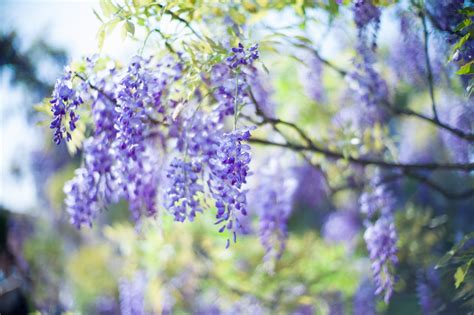 wisteria wallpaper wallpaper flowers blossom wisteria blooming wisteria