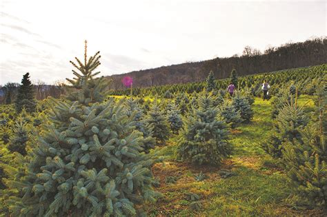 northern virginia tree farms collection of tree farms in virginia best